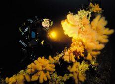 Dødningehånd - Korallen med det dystre navn