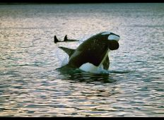 Smarte spækhuggere – speciale i dræberhvaler