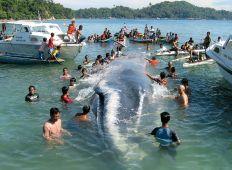 WWF-klumme – når en hval går på grund