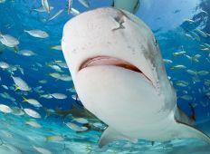 [HAJ-UGE] Sharkoholics – blandt hajmisbrugere på Bahamas