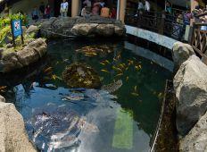 WWF-klumme – havskildpadder i en guldfiskedam