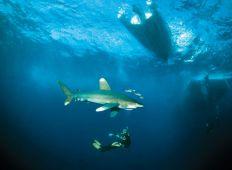 Firebanden – fire hajer du bør kende