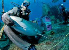 Bahamas – i hajcirkus hos Stuart Cove
