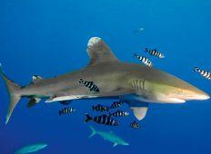 Hajleksikon – oceanisk hvidtippet haj