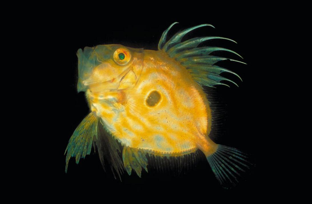 Sankt Peters fisk - Zeus Faber