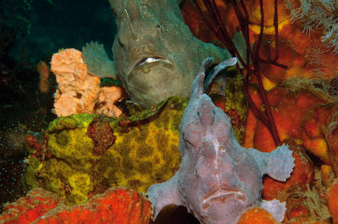 Kys frøen - om havets mestre i camouflage