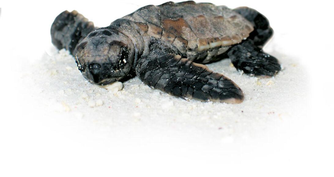 Havskildpadder - Havets ensomme nomader