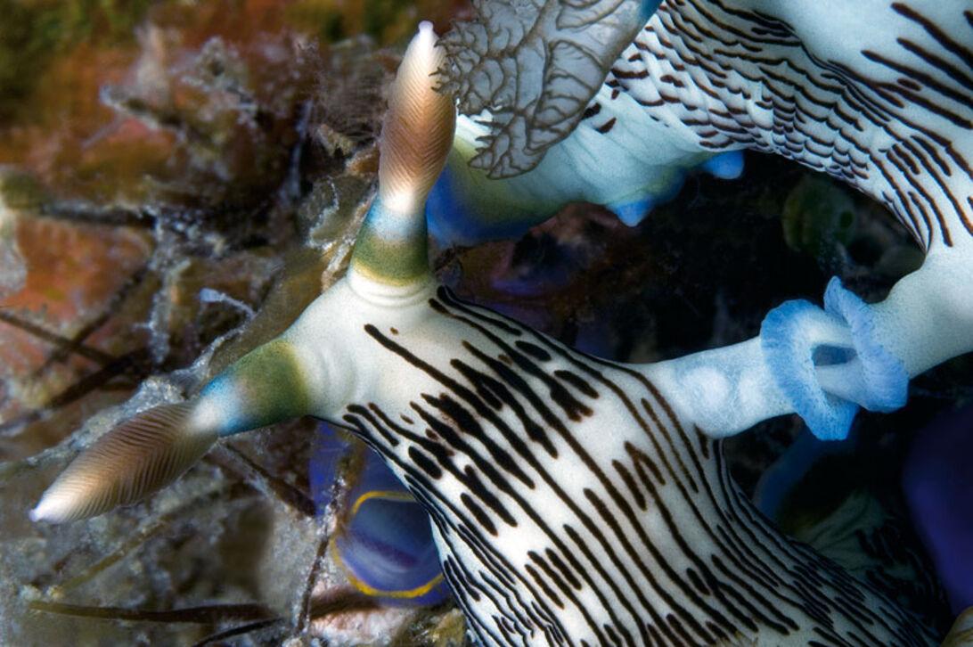 Nøgensnegle – havets orkidéer