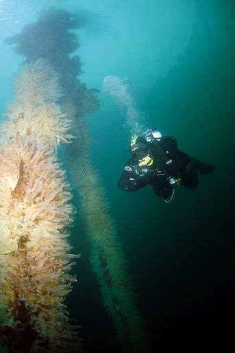 Hitra – dykning i kammuslingernes rige