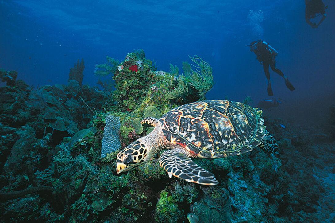 Øerne i Bahiabugten – dykning ved Honduras
