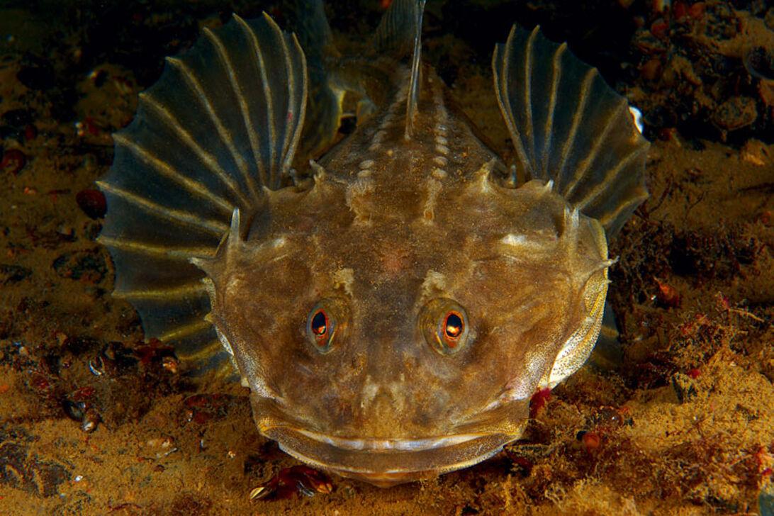 Levende liv – vinterens specielle fisk