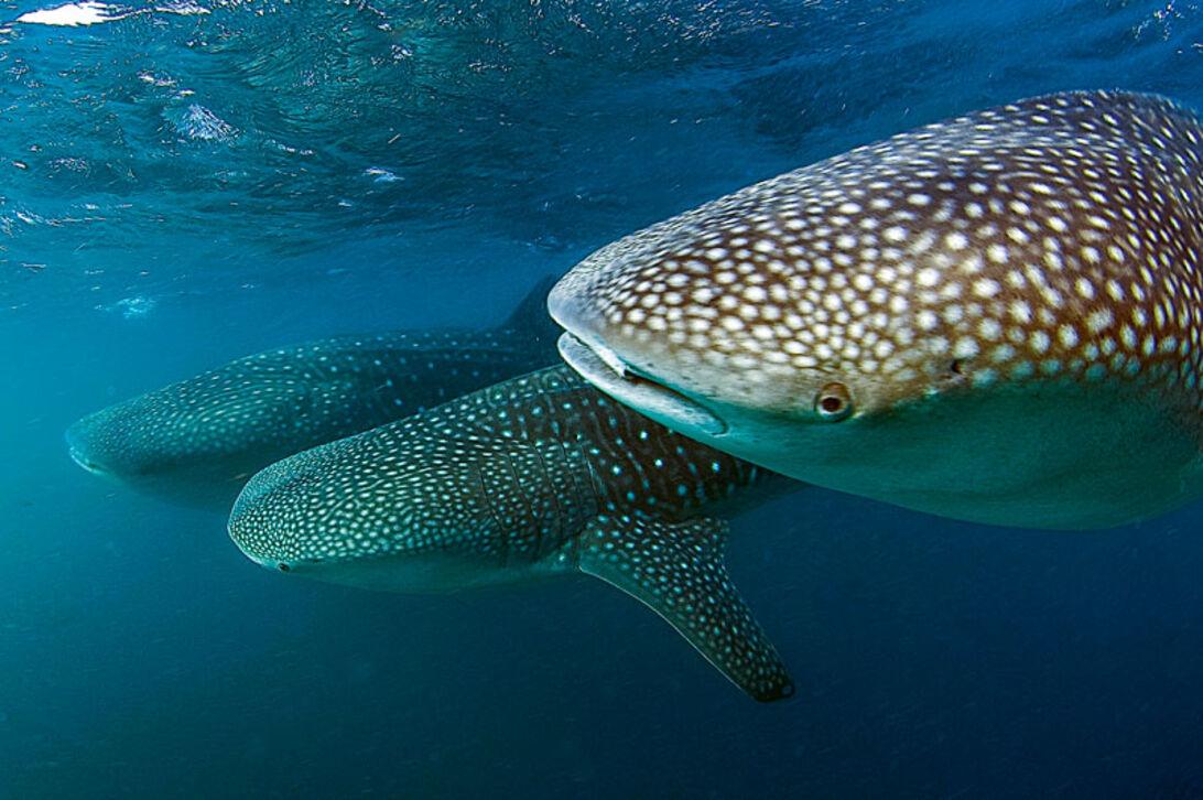 Djiboutis hvalhajer – nærkontakt med havets største fisk