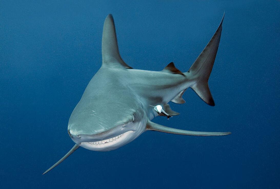 Sharkoholics – blandt hajmisbrugere på Bahamas
