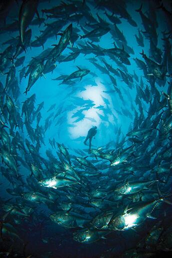 Sølvtornadoen – tunfiskedyk på Malta