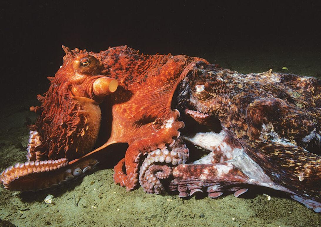 Klart som blæk – mød Stillehavets kæmpeblæksprutter