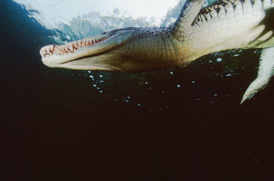 Tæt på – krokodilleangreb