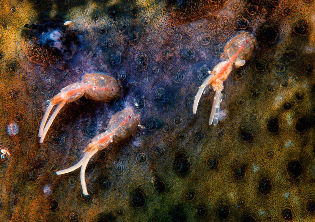 Havets pansertanks – leddyr i nordiske vande