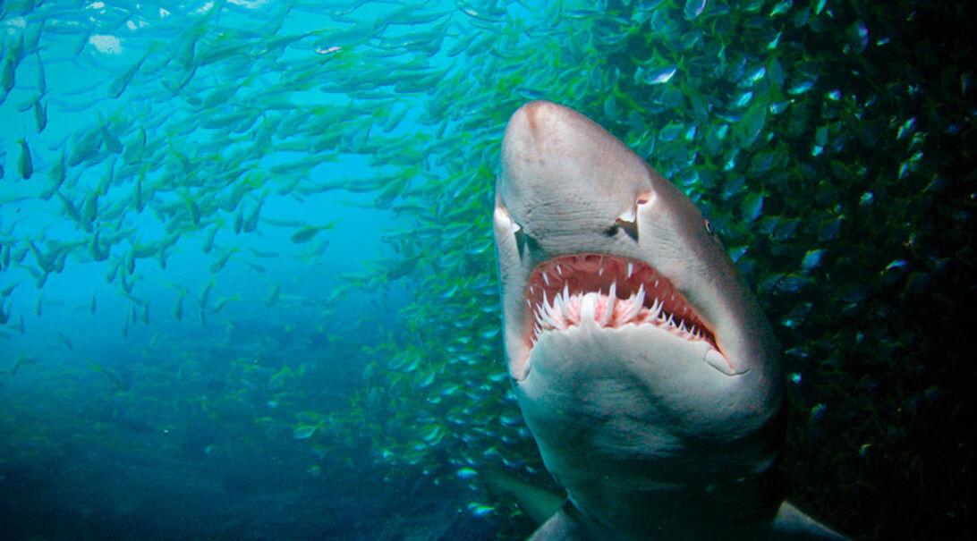 Hajerne ved Fish Rock – tæt på sandtigerhajer