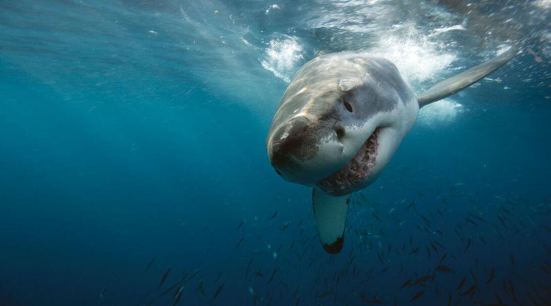 Hvidhajen – herskeren af Neptune Islands