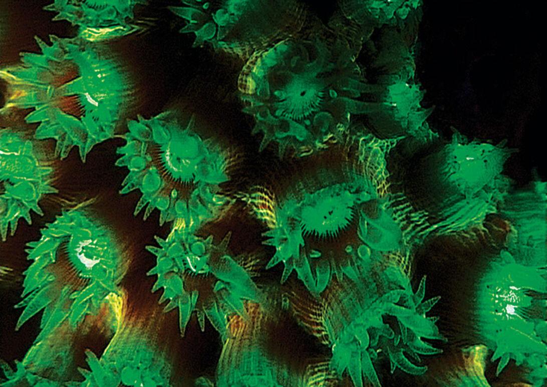 En lysende opdagelse – fluorescerende rev i Indonesien
