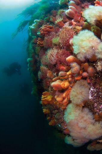 Lofoten – Dykning i Tangparadiset