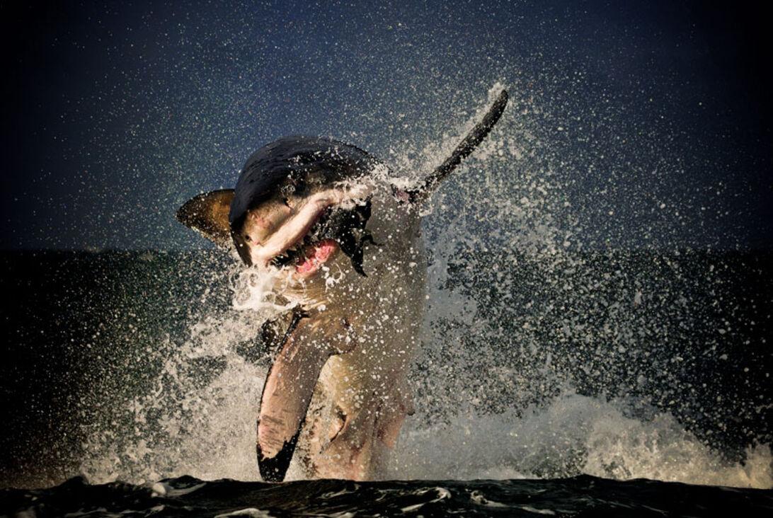 Dykning i bur – Kan det forsvares?