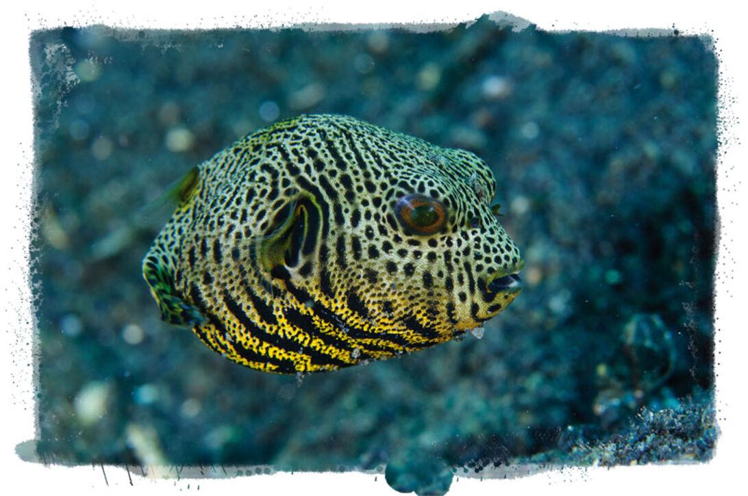 Makro, mimick og mandariner – Lembeh Strait, muck-dykningens mekka