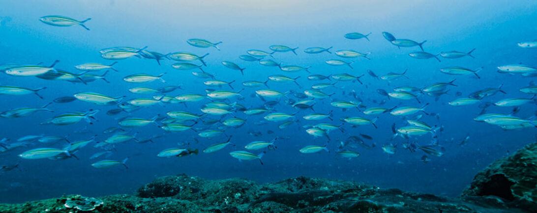 Oman – liveaboard ved Al-Hallaniyah Islands