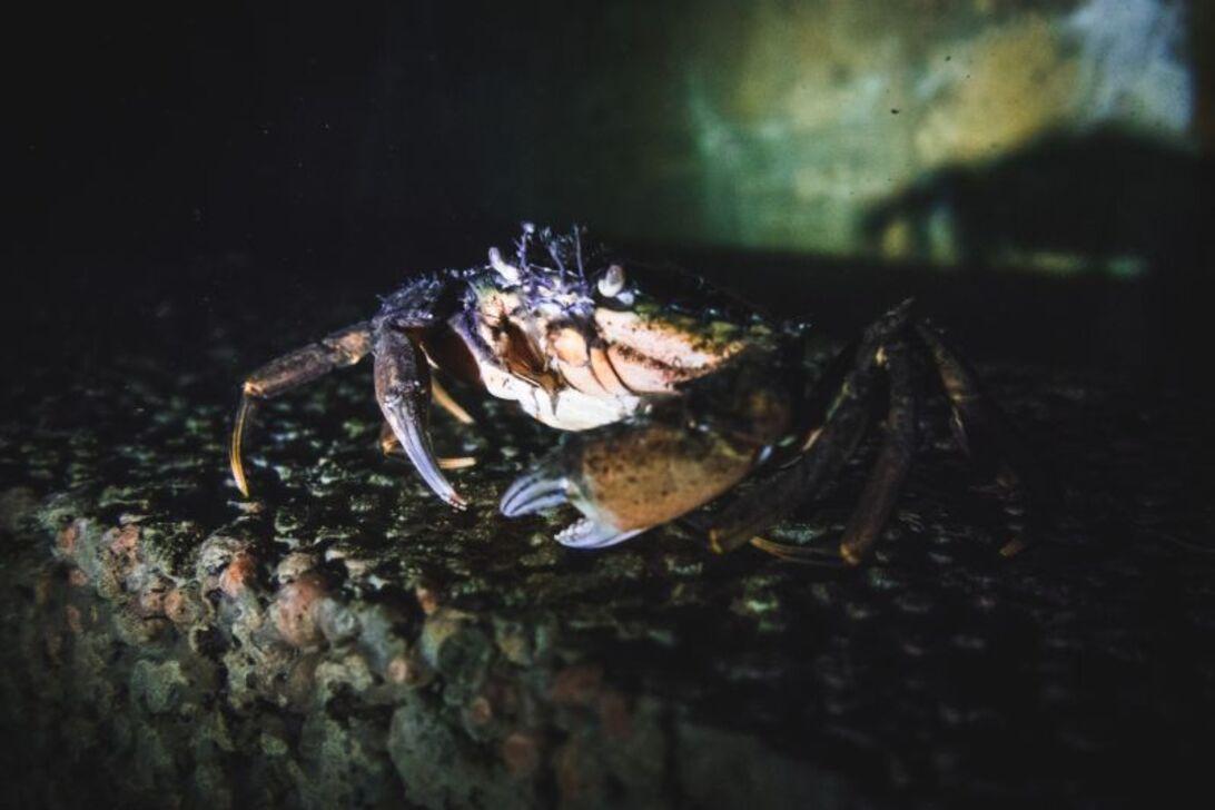 Krabbe på Noahs Ark