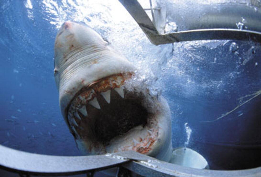 David Pearlman – danser med hajer