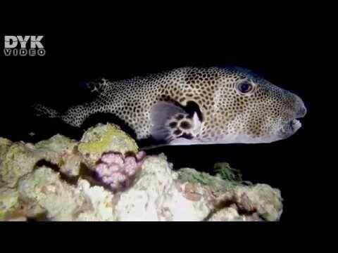 Natdyk på husrevet ved Umbi Sharks Bay Diving Village.