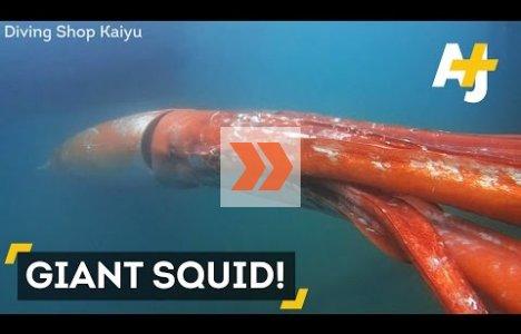 Sjælden kæmpeblæksprutte på over 3,5m fanget på kamera