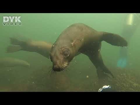 Der er søløvegaranti, når man dykker ned blandt søløverne i Verdens andenstørste koloni. Video: Helene-Julie Zofia Paamand