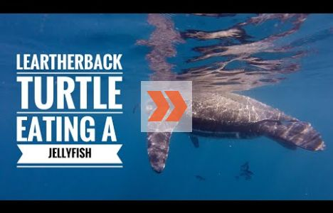 Havslädersköldpaddan äter en manet. Video: Mike Papish, Underwater Exploring