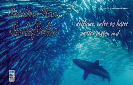 Sardine Run i Sydafrika – delfiner, suler og hajer sætter jagten ind