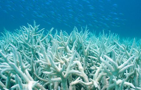Koral-blegning