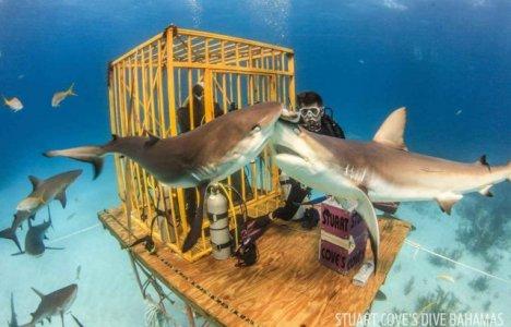 Stuarts Cove er kendt for altid at byde på hajer