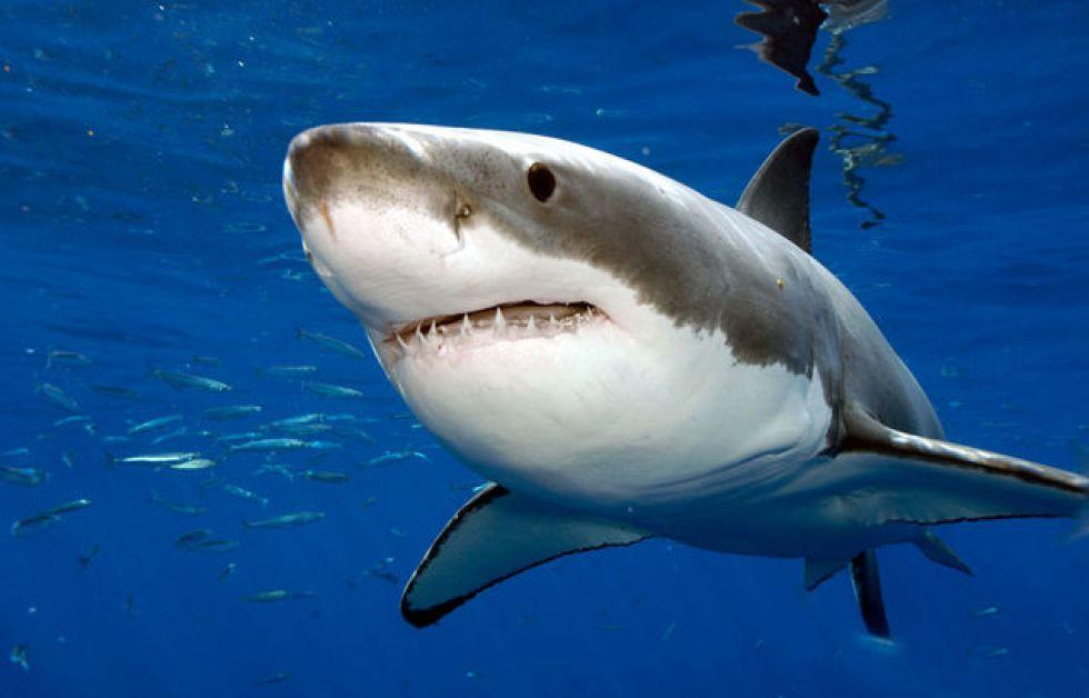 Hvorfor bider hajer?