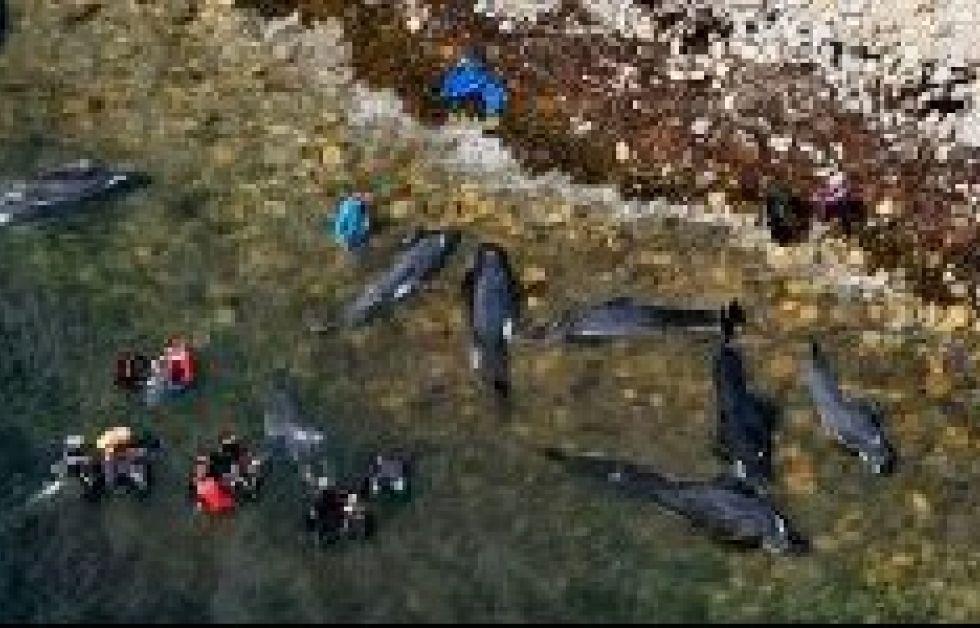Masseselvmord blandt hvaler
