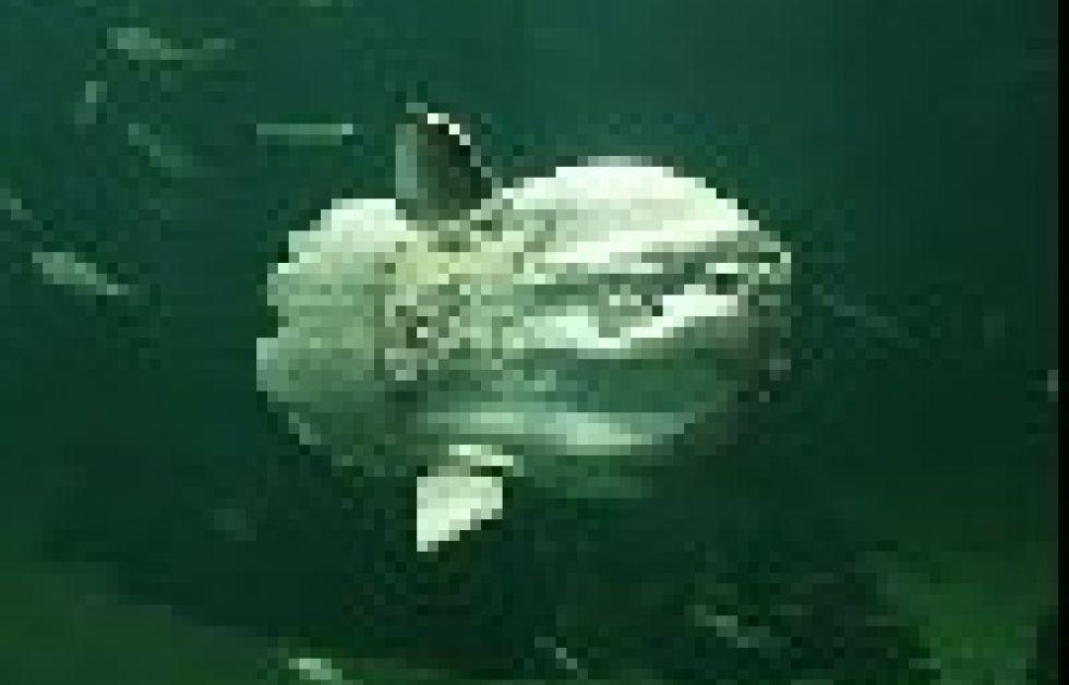 Nordsømuseet har fået ny klumpfisk