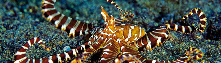 Blæksprutter – havets tryllekunstnere