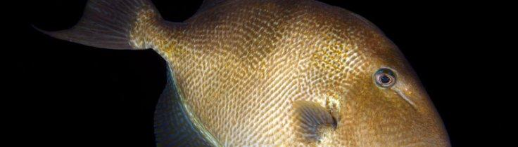 Levende liv – almindelig aftrækkerfisk