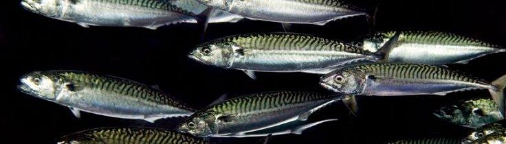 Må man spise fisk? – træf dit eget valg