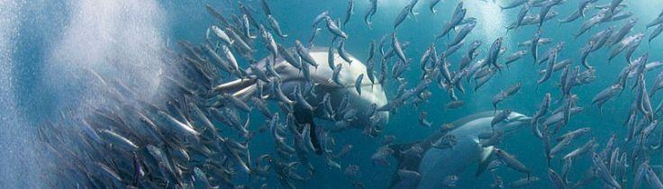 Myldretid – Sardine Run i Sydafrika