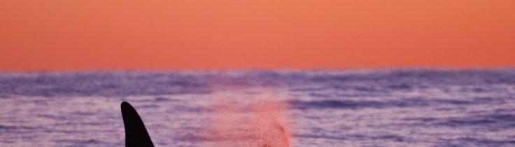 Spækhugger – havets største rovdyr ansigt til ansigt