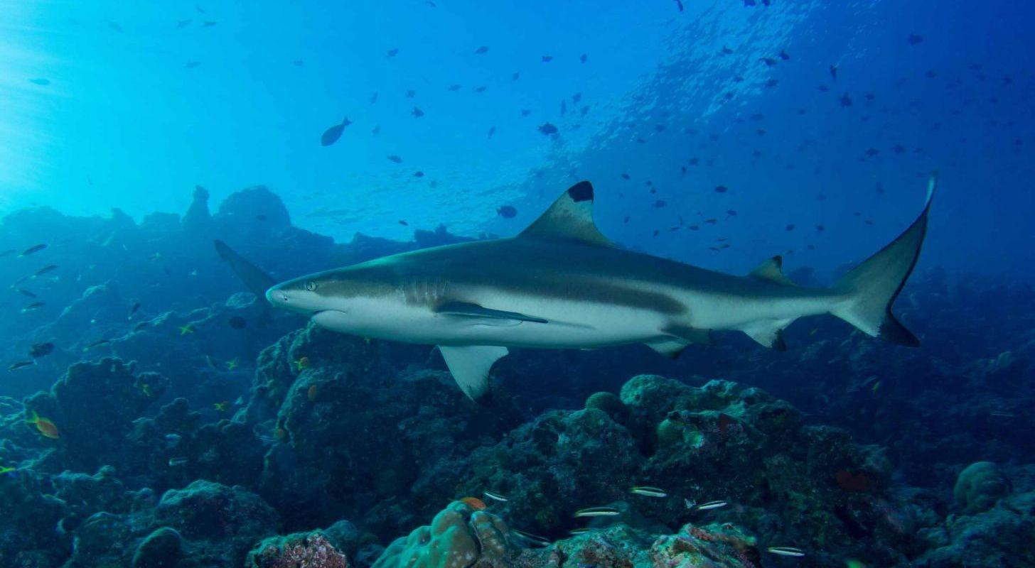 Maldiverne – store fisk og paradisøer