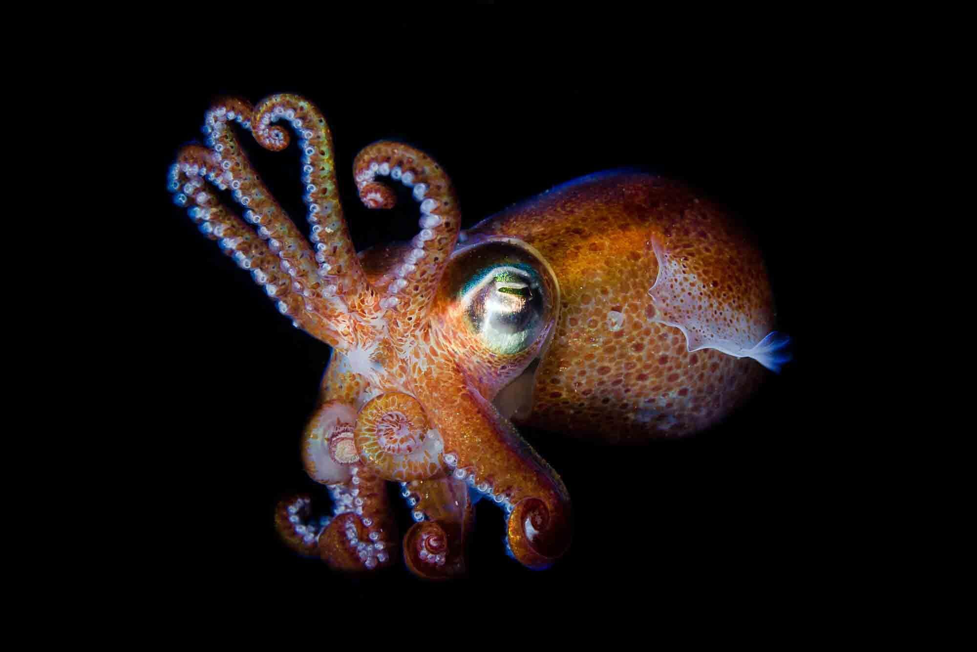 Den svenske bobtail blæksprutte
