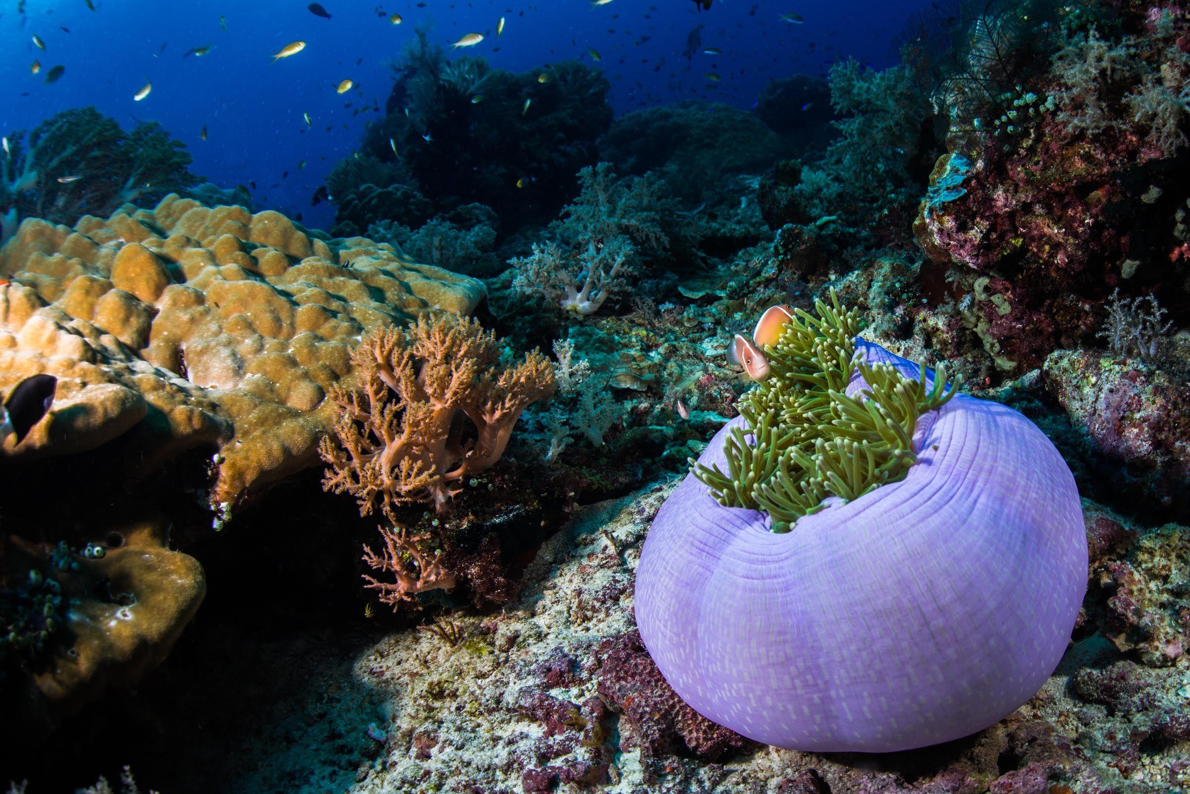 Purple sea anemone in Raja Ampat.