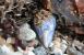 Blåmuslinger er naturens nyttige filterpumpe