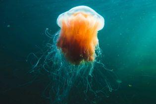 Mick-Friis: Lionsmane Jellyfish 2018 - Amager-Strand.